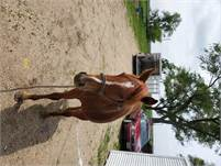 Performance Yearling Gelding for sale