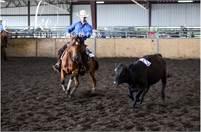 Cow horse prospect
