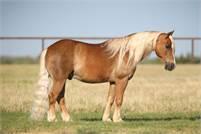 Classy Ranch Pony