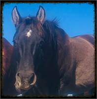 AT STUD ONLY. NOT for sale. GRULLA son of HIGH BROW HICKORY