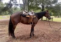5yr old Bay Ranch Gelding