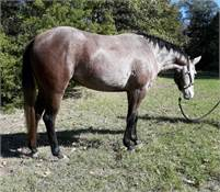 Sandy - 2018 Gorgeous Rose-Gray Mare!