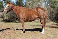 NCHA earning Peptoboonsmal daughter in foal to Sannman