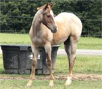 2020 Hashtags colt. Red Roan.