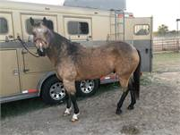 Big beautiful sound and easy going gelding