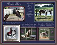 For sale - Rare Spotted Gypsy/Friesian/Saddlebred May 16 ,2019 Filly