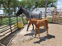 Four yr old mare and foal for sale