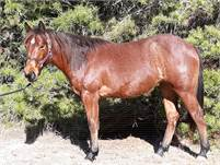 2019 Bay Roan Filly Foundation and Cow Bred